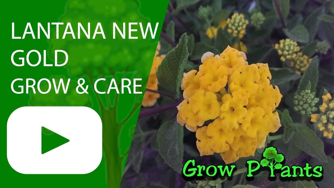 Lantana New Gold Growing And Care Plant Information Climate Hardiness Zone Uses Growth Speed Water Requirement L Lantana Plant Information Plant Care