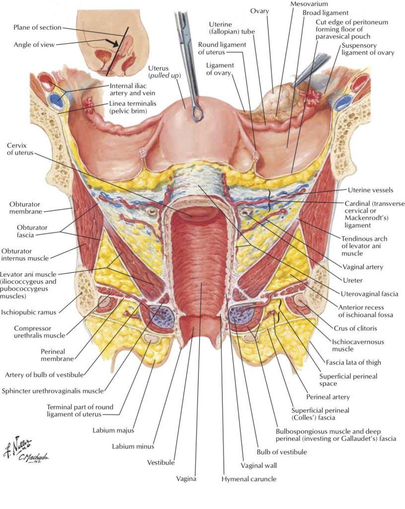 Diagram Of Human Body Uterus - Auto Wiring Diagram Today •