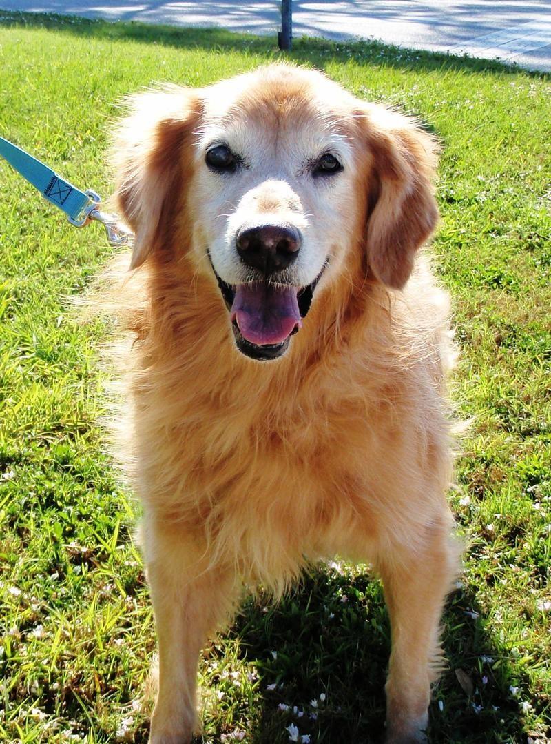 Adopt Kelly on Petfinder Golden retriever rescue, Golden
