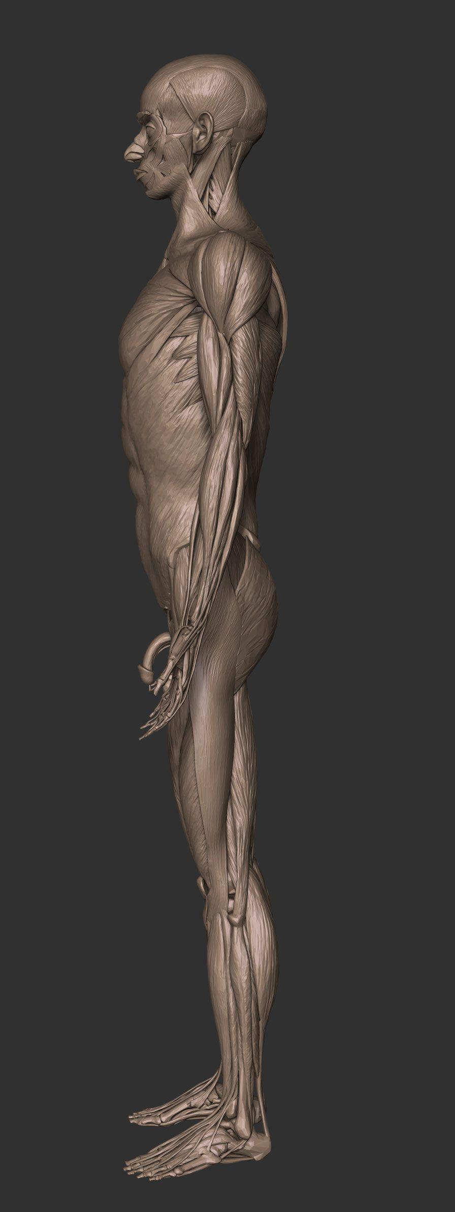 Full Anatomy Model Free Download Zbrushtuts Anatomy Pinterest