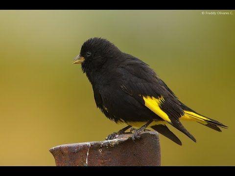 السسكن الاسود او الحسون الاسود كل ماتود ان تعرفه حول هذا الطائر طيور العرب Siskin Black Bird