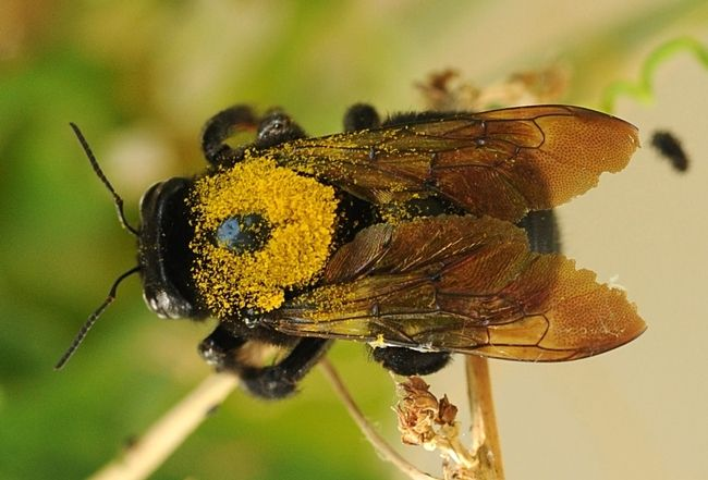 Female Valley Carpenter Bee Caught In Flight Dusted With Gold