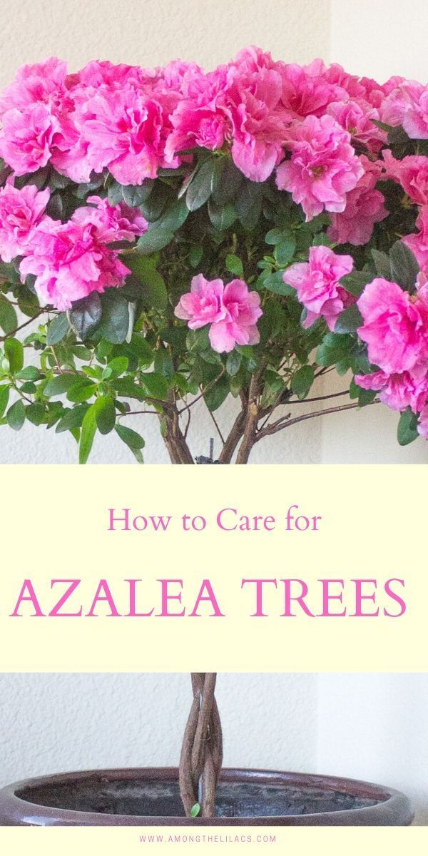 Indoor azalea trees are both beautiful and fragrant! Their