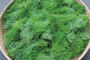 Harvest Douglas Fir Tips in Spring, make medicine, probiotic soda and more!