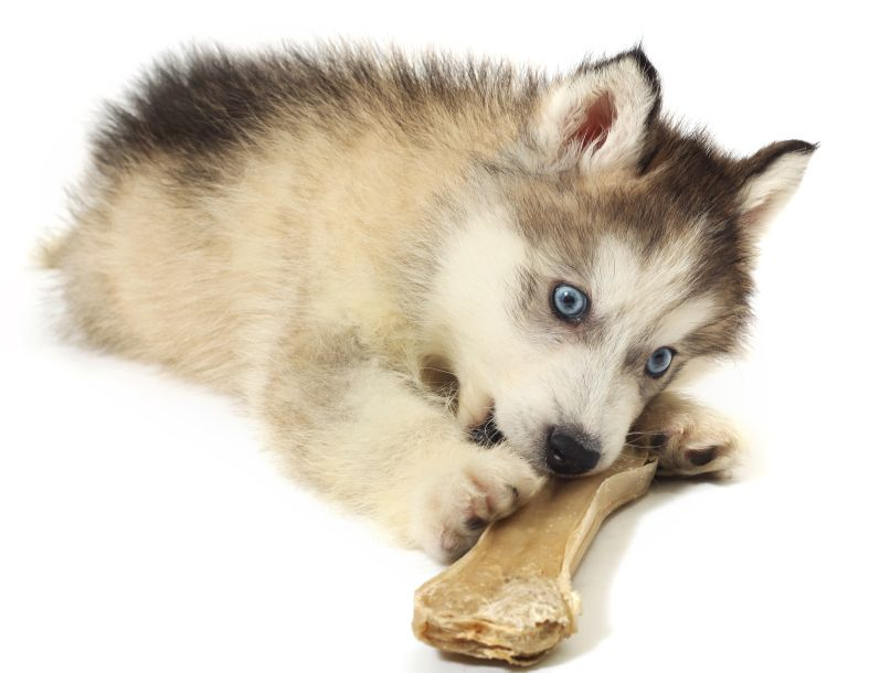 12 Surprising Facts About The Siberian Husky And Common
