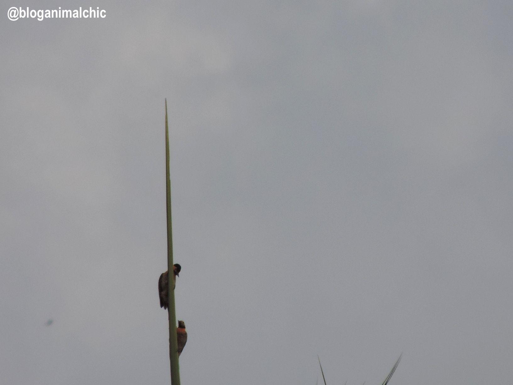 Pica-pau-do-campo (Colaptes campestris) fotografado em Igarapés/MG, em Abril/14.