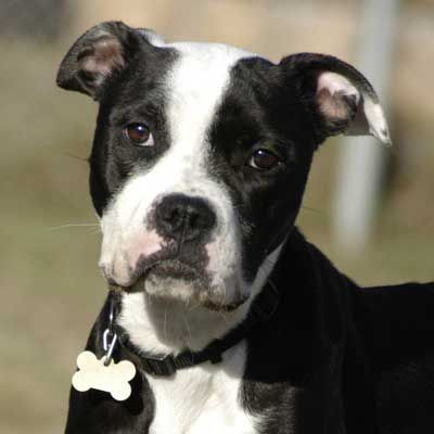 Meet Pinecone Pinecone Is Gentle And Loyal She Is A Boxer Boston Terrier Blend Dog Who Was Rescued From Hurricanesandy Ado Dog Adoption Animals Pets