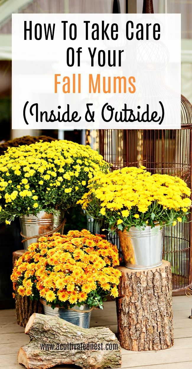 How To Take Care Of Your Mums Indoors And Out Garden