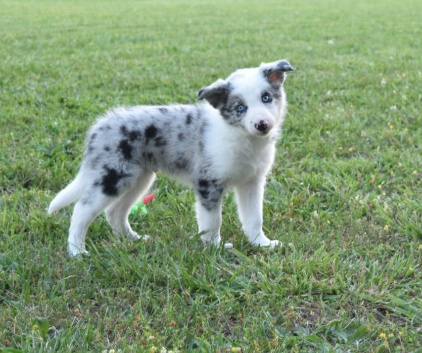 Puppies Are So Curious This Blue Merle Border Collie Puppy Is So Adorable And Sweet Border Collie Puppies Collie Puppies Dog Trends