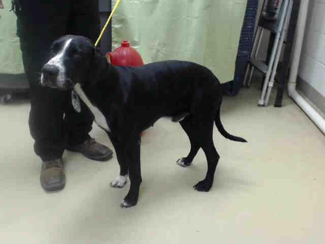 Adopt Goliath On Great Dane Rescue Animal Rescue Dane Dog