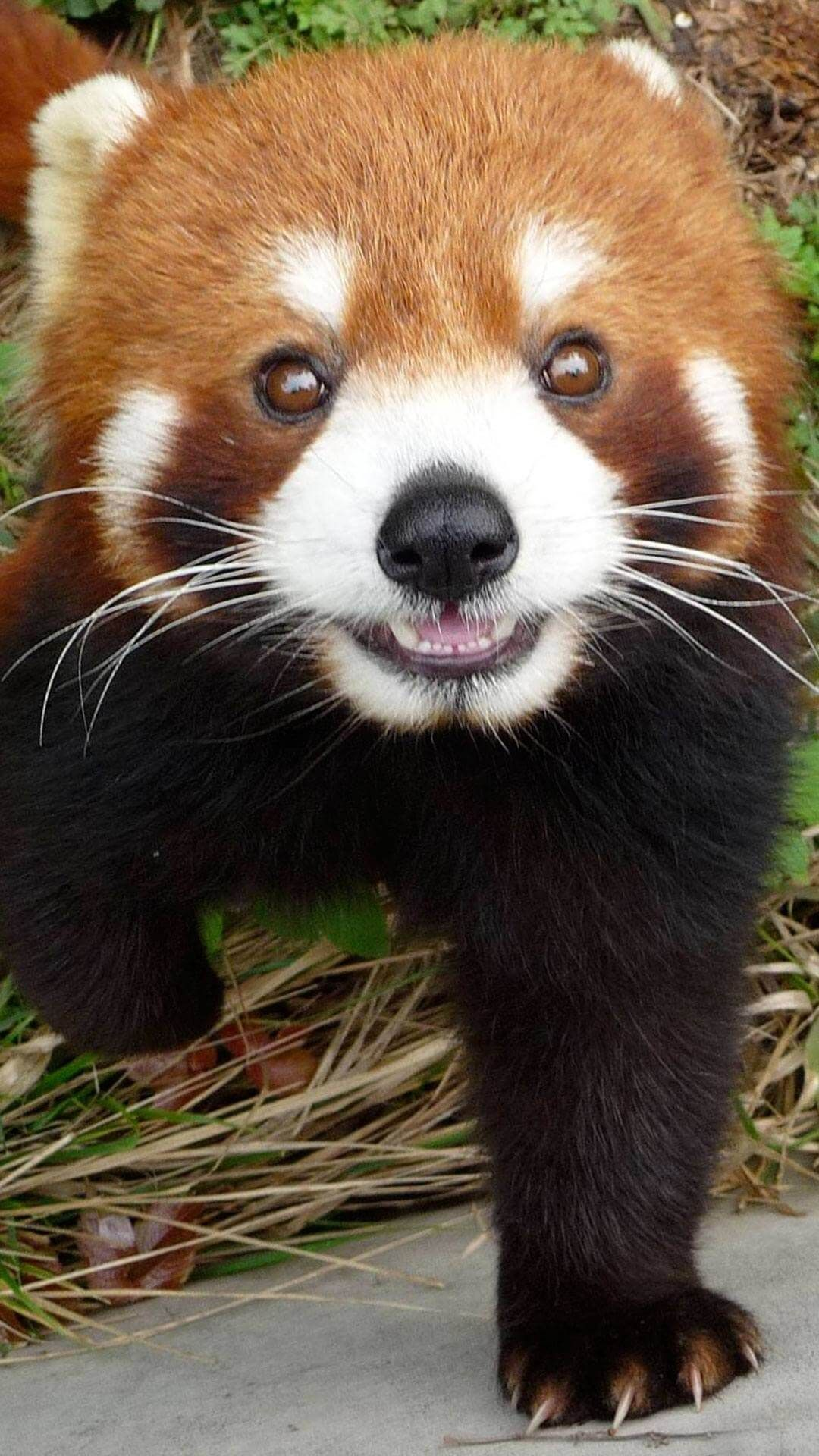 cute red panda wallpaper iphone hd | animal wallpaper for iphone