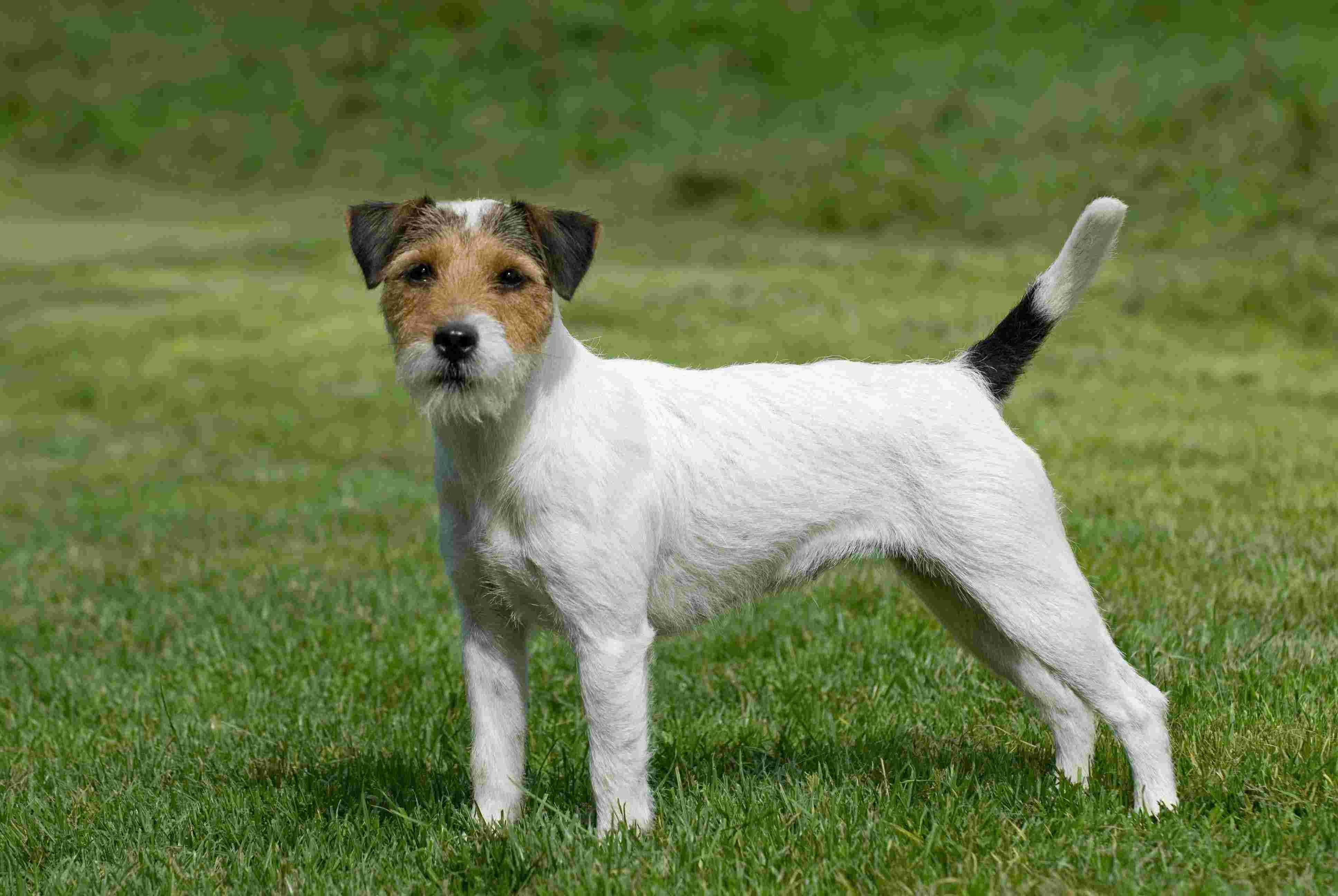 Recommended for You German Short Haired Terrier Clues - The haircut ...