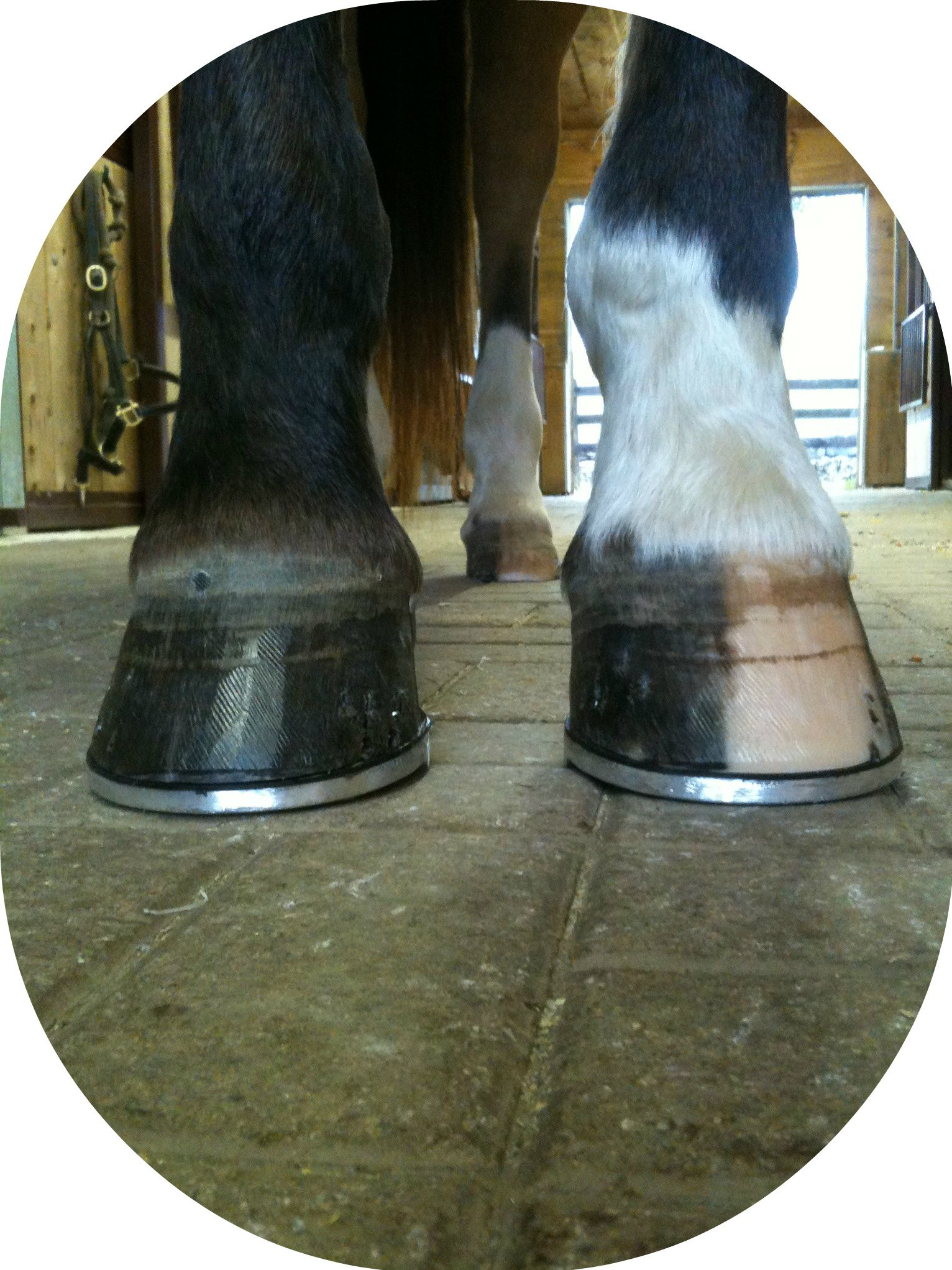 Little Known Qualities of Great Farriers Cute Animals