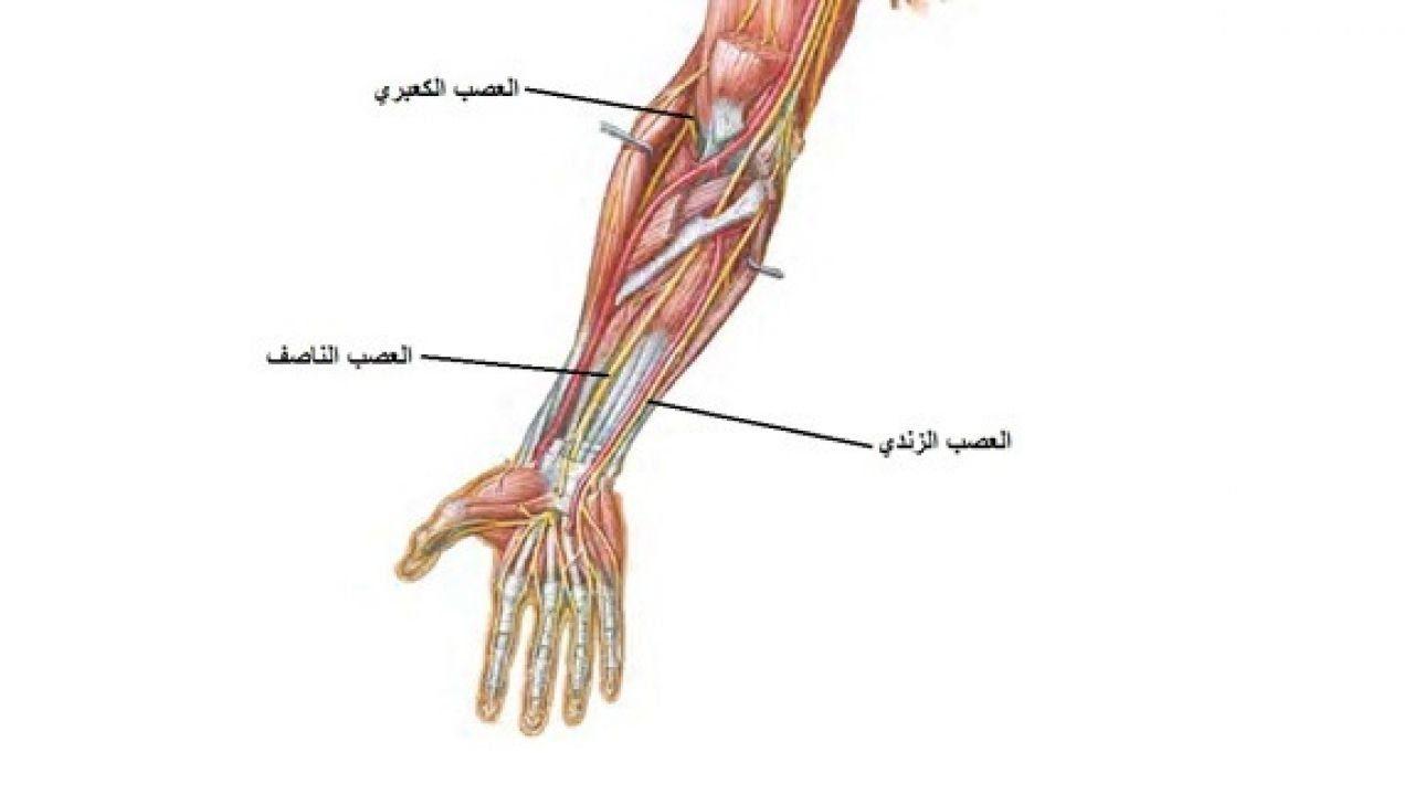 أين تقع الكعبرة في جسم الإنسان Human Body Body Human