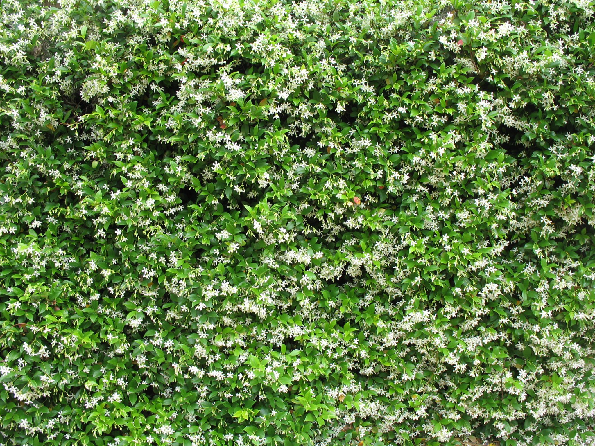 confederate jasmine trachelospermum jasminoides danny suggests for fence in back yard. Black Bedroom Furniture Sets. Home Design Ideas