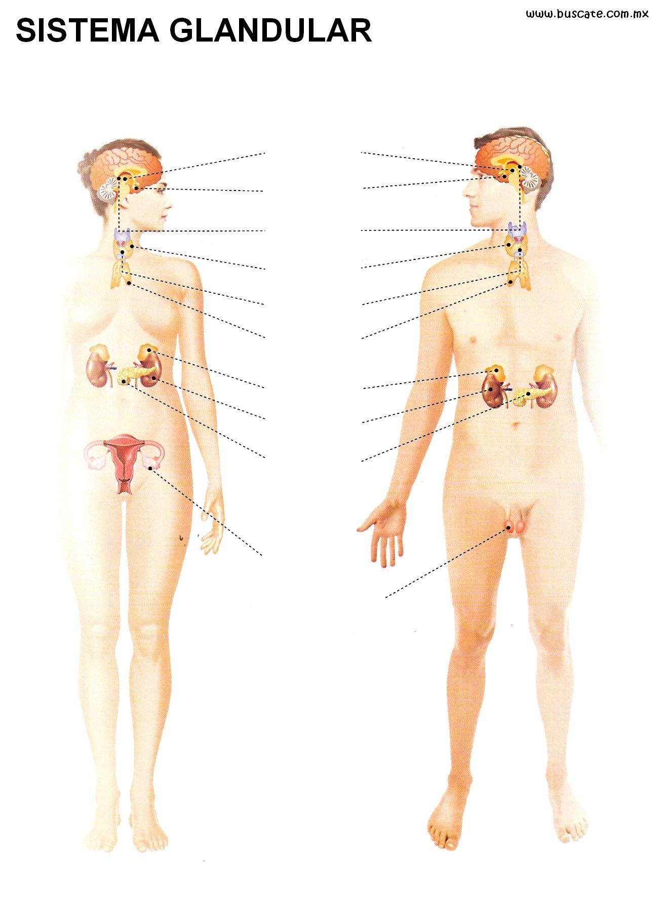 Esquema del sistema glandular. Sin los nombres de sus partes, para ...