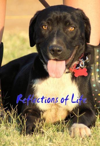 Ariel Labrador Retriever Dog Elk City Ok Labrador Retriever Labrador Retriever