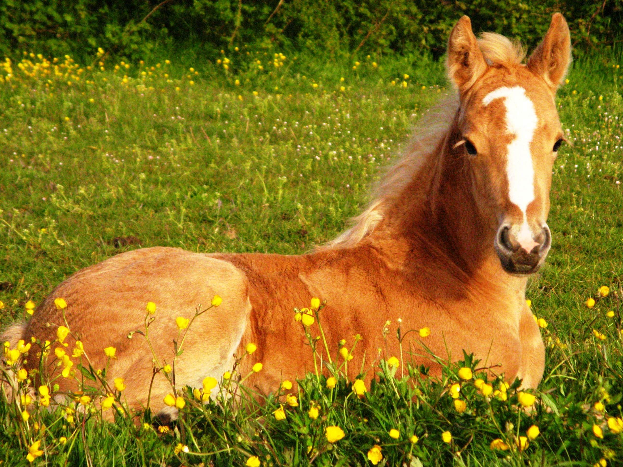 Beautiful Cute Baby Girl Hd Wallpaper Cute Foals Cute Horse Wallpapers Wallpaper Cave