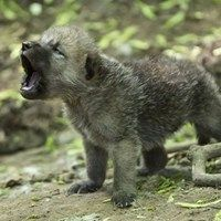 Howling Arctic Wolf Pup