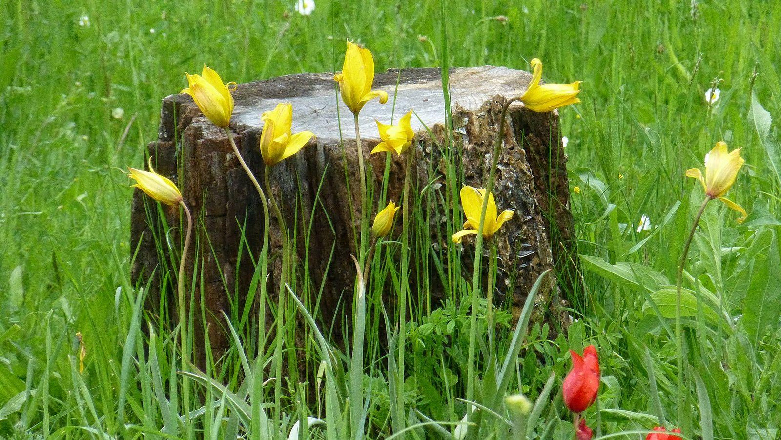 tulipa sylvestris Fall bulbs, Tulips, Gardenista