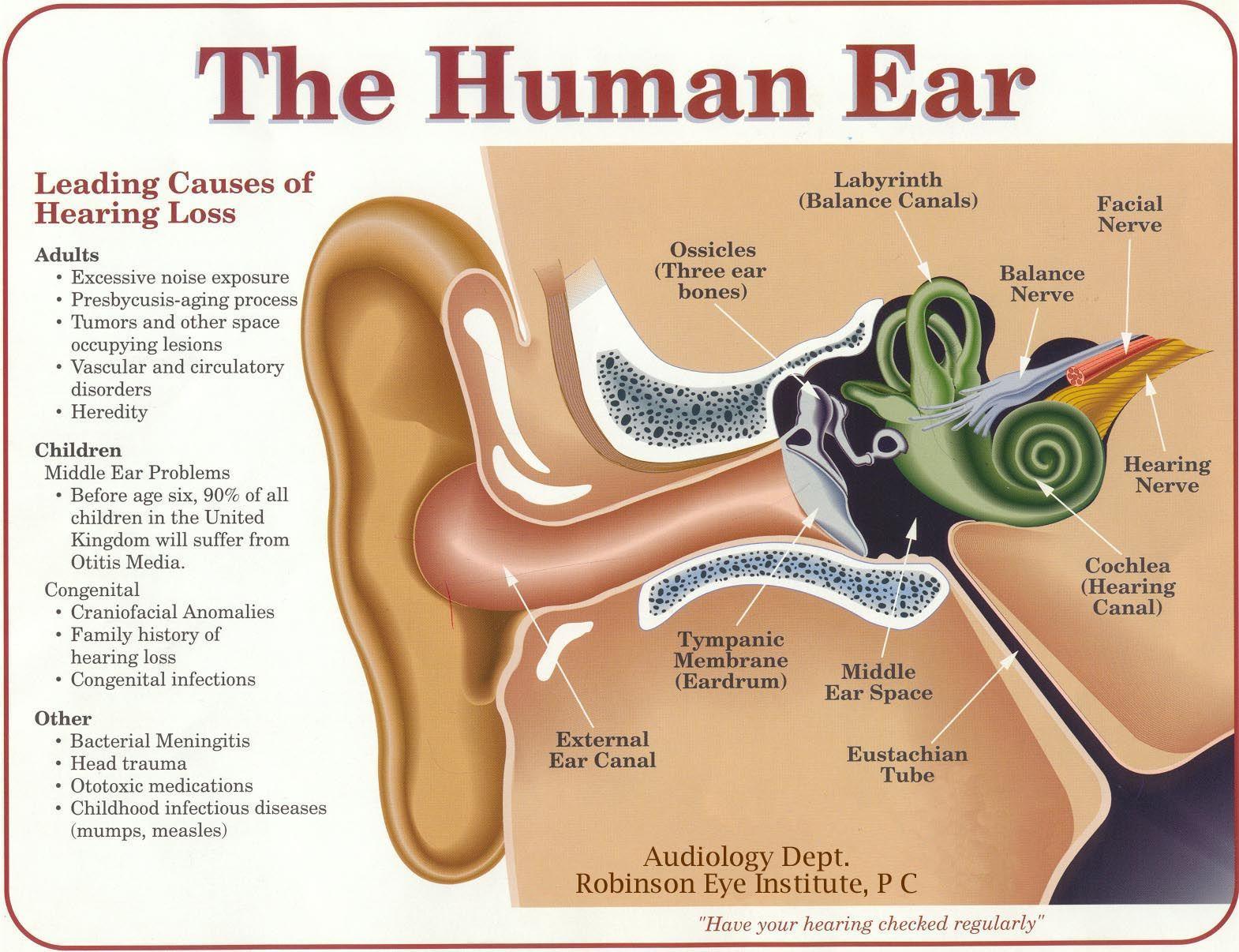 hight resolution of functions of an ear inner ear parts and functions structure and function of inner ear