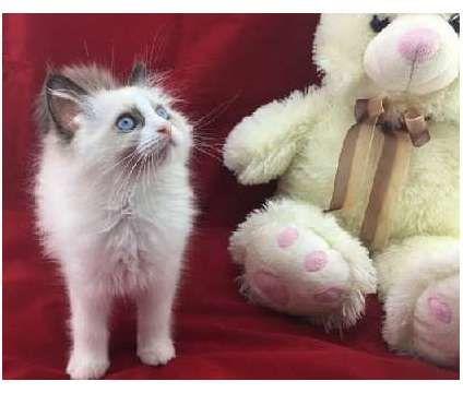 SXCGFG-Nice Ragdoll kittens available is a Ragdoll Kitten