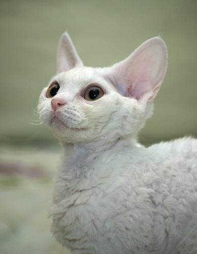 Devon Rex Cats Have Curly Hypoallergenic Non Shedding Fur