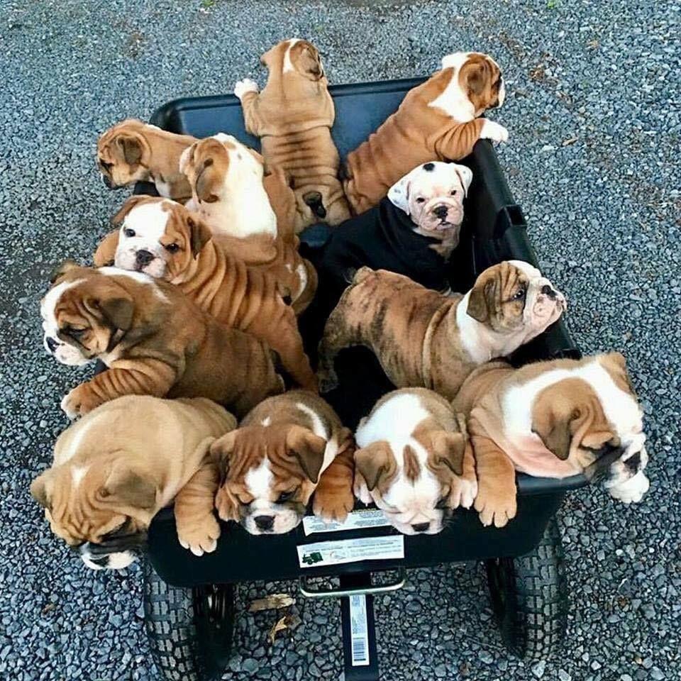 Pin By Kim Marshall Couture On Mini Bulldogs And Anything Bulldog