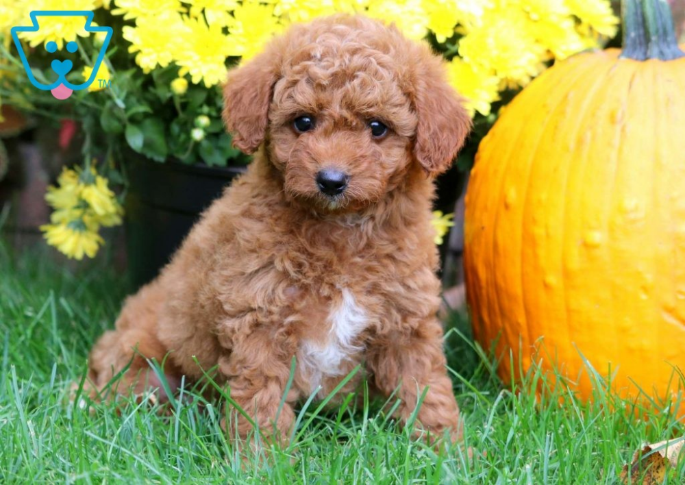 Rolo Goldendoodle Miniature Puppy For Sale Keystone Puppies Miniature Puppies Goldendoodle Miniature Mini Goldendoodle Puppies