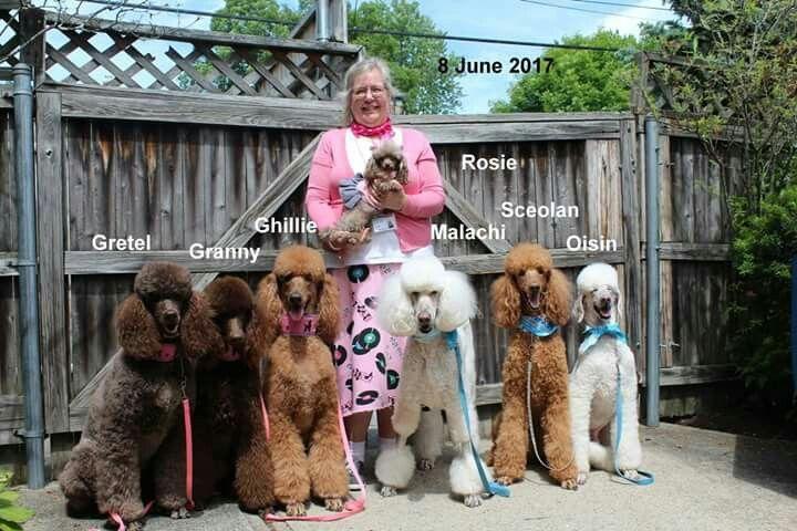 Pin By Randi Tarillion On Standard Poodles Dog Dye Therapy