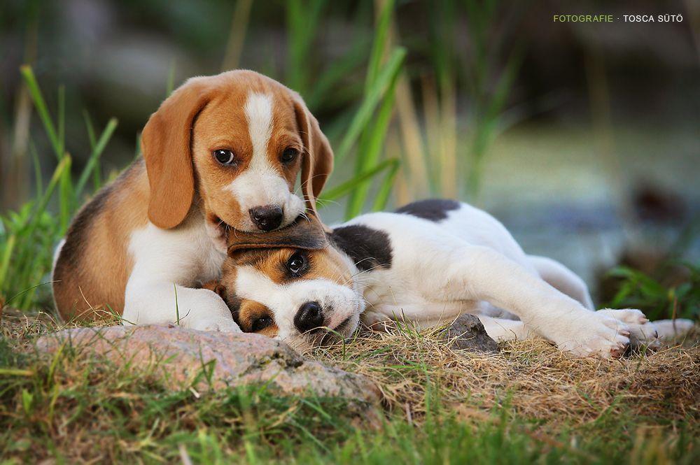 beagle Beagle puppy, Cute beagles, Baby beagle