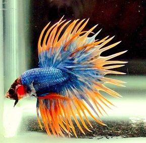 Cara Pembenihan Budidaya Ikan Cupang Fish Pet Betta Fish