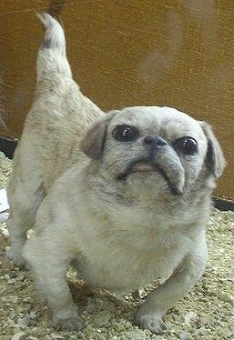 Dog Breeds In The 1800s Chinese Happa Pekingese Japanese