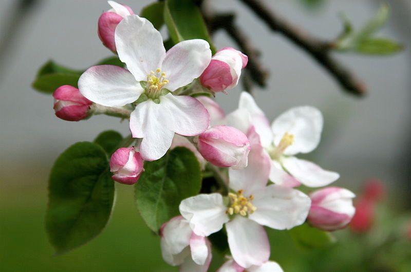 Apple Blossom Michigan