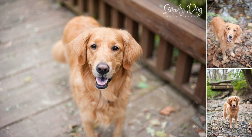 Fall Golden Retriever Session Columbus Ohio Dog Photographer