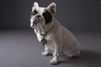 How To Adopt A French Bulldog Puppy In Florida French Bulldog