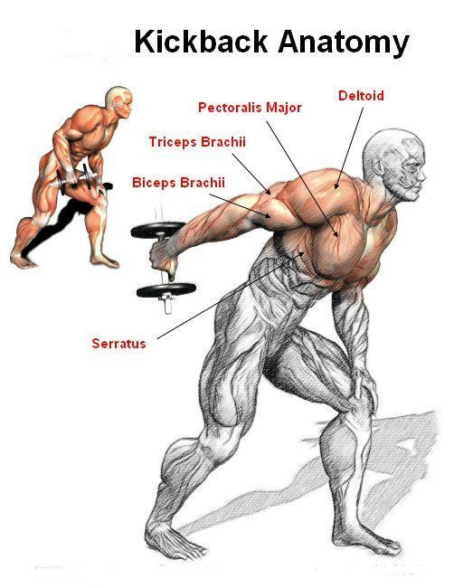 Anatomy Of The Dumbbell Kickback Primary Muscle Is The Triceps