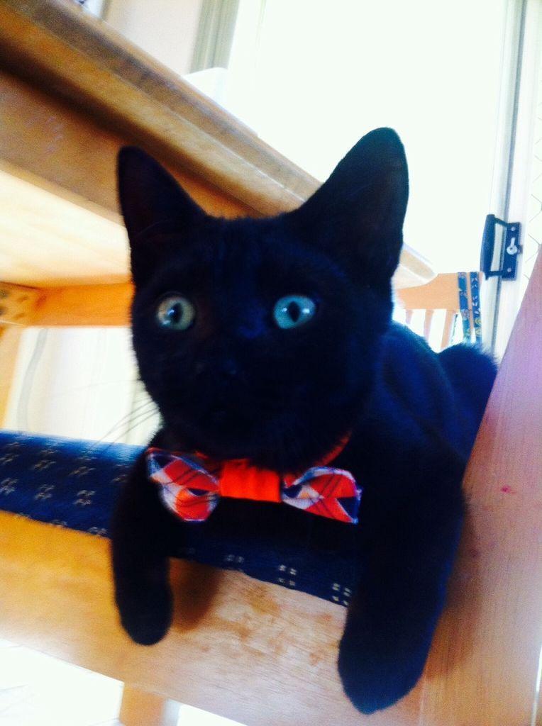 Cat Bow Tie Pattern - Cute Cat 2017
