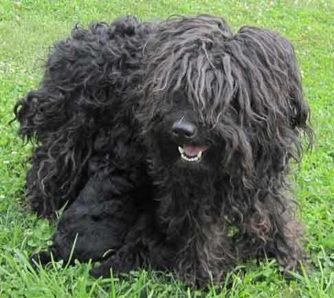 Puli Dog Photo Puli Puppies For Sale In Oregon Or Black White