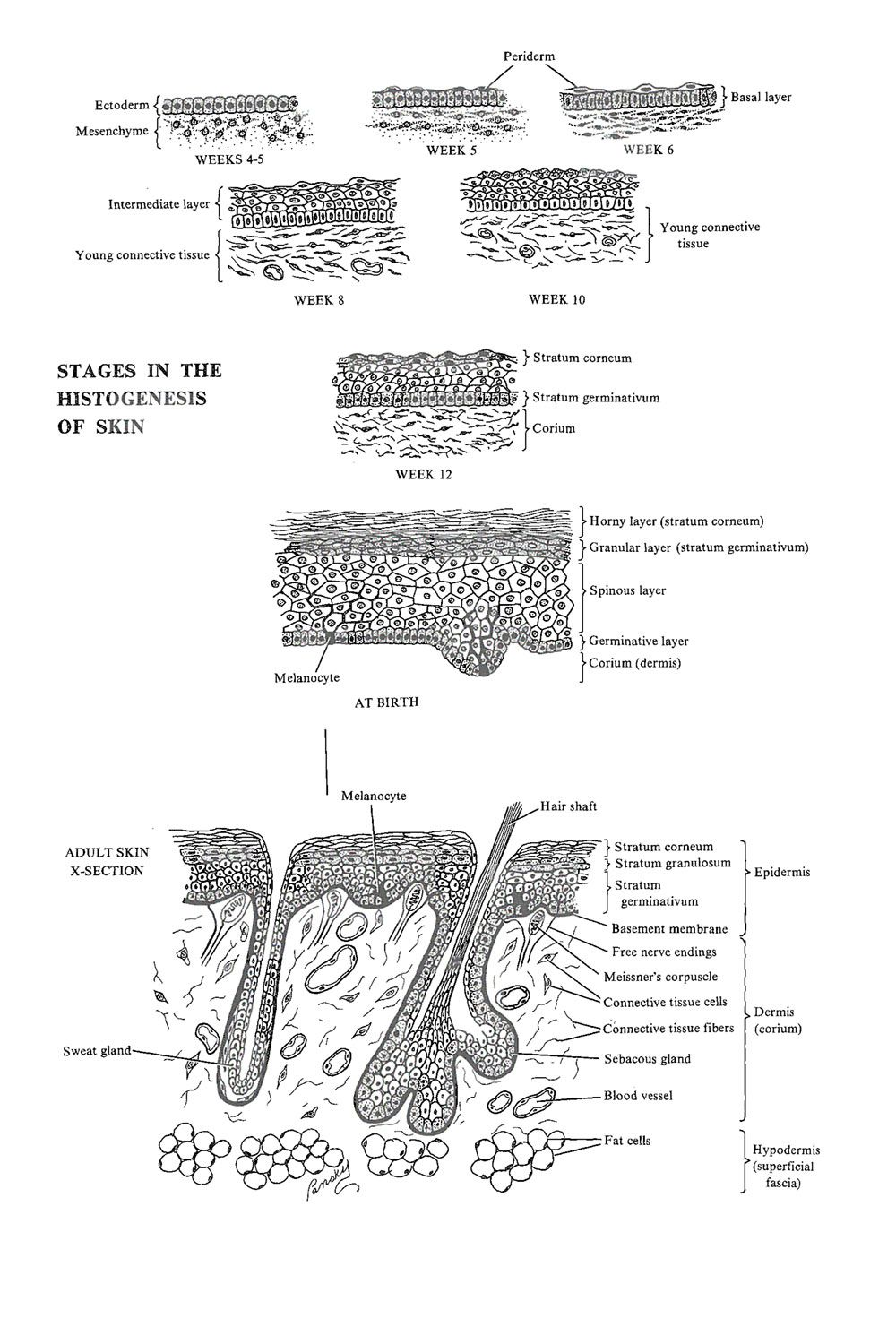 Development Of The Integumentary System Ectodermal Derivatives Image 1 Integumentary System Development System