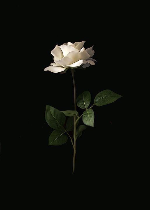 Leviatano White Roses Background Beautiful Flowers