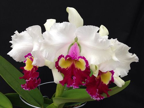 Cattleya Cheri Belle Valentine C Mrs Frederick Knollys X Lc Shellie Compton Z 1617 Cattleya Orchid Cattleya Beautiful Orchids