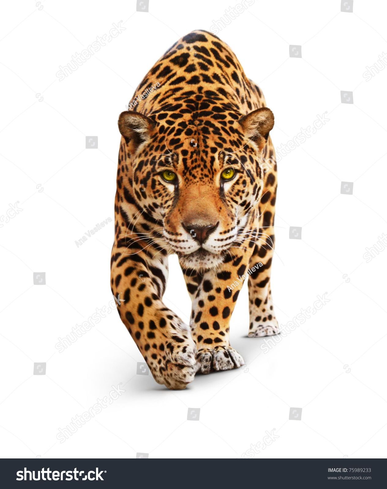 Jaguar Panther Front View Isolated On White Shadow The Same