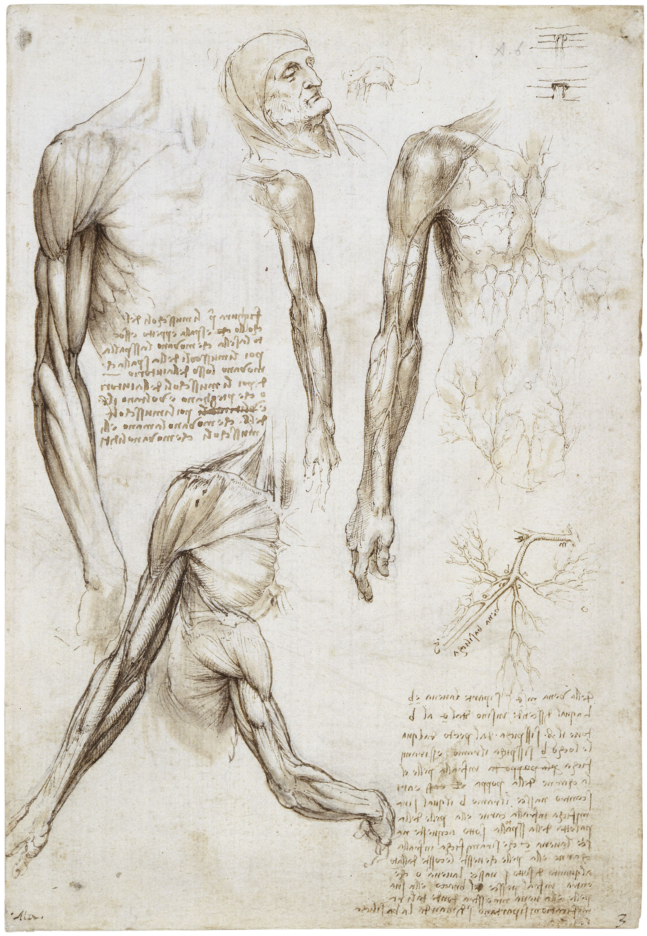 Leonardo Da Vinci arm anatomy ref | Anatomy, Reference, and ...