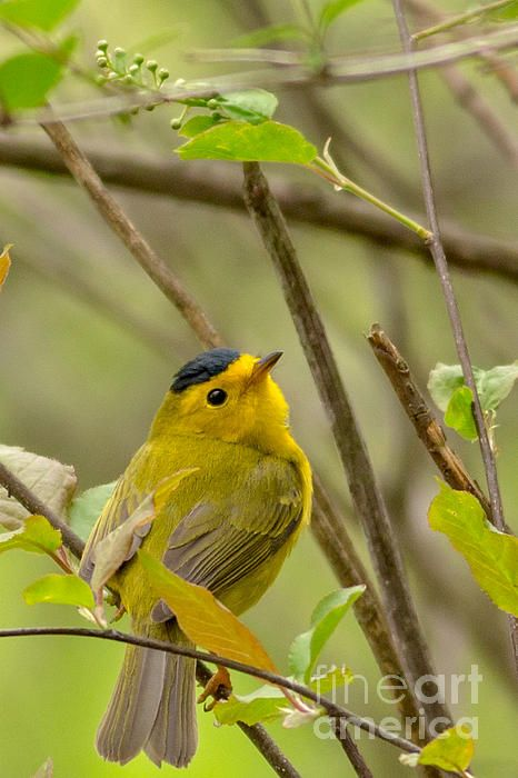 A Wilson's Warbler spends some time in a nature conservancy Madison Wisconsin before heading west.