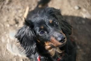 Lilly Is An Adoptable Dachshund Dog In Methuen Massachusetts