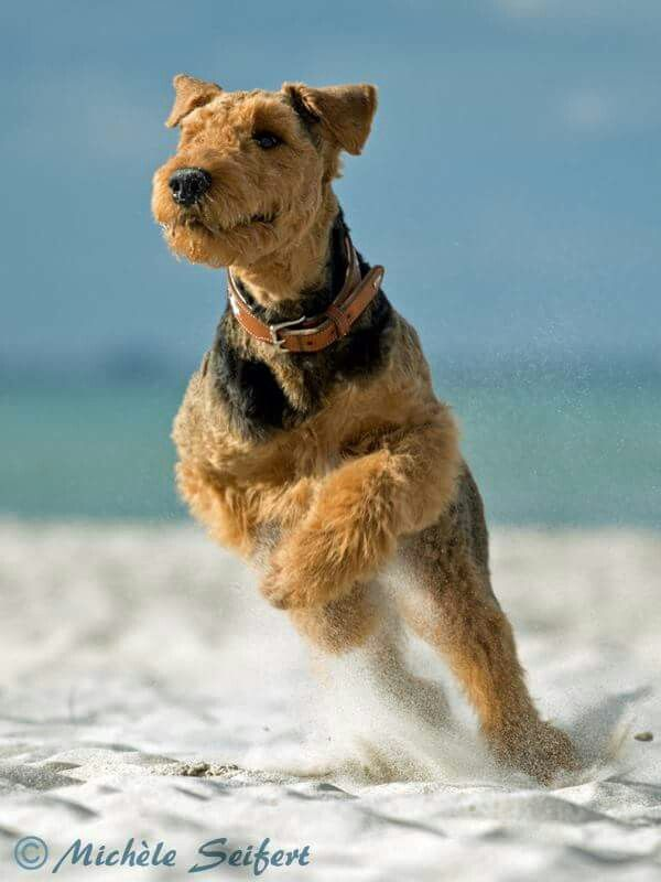 Diving In At The Seashore Airedale Dogs Dogs Dog Lovers