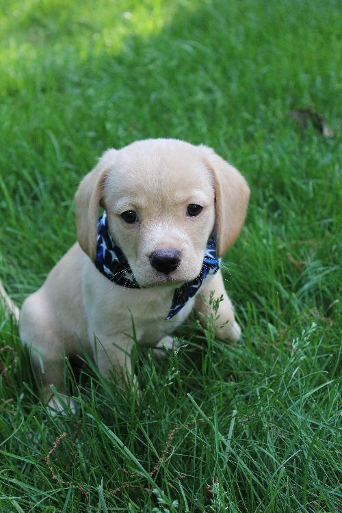Adopt Hurley On Adoptable Beagle Beagle Dog Animal Sanctuary