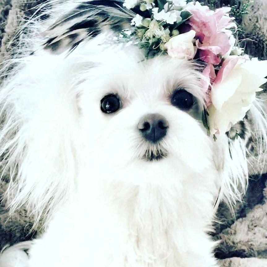 Because Everything Is Beautiful In Its Own Way If U Make It So Follow Maltese Dog Love For More Via Maltesedog Malteser Havaneser Welpen Hunde