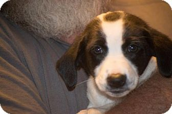 Denver Co Basset Hound Labrador Retriever Mix Meet Spot A Puppy For Adoption Http Www Adoptapet Puppy Adoption Basset Hound Mix Labrador Retriever Mix